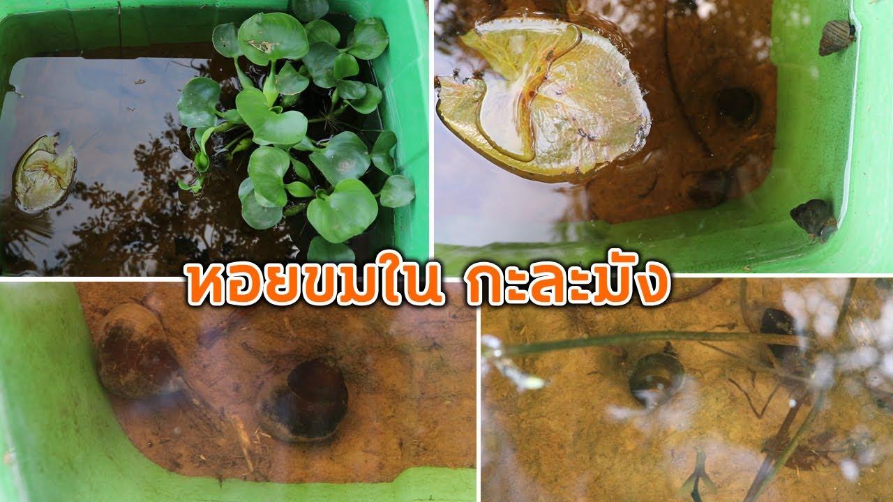 ว ธ เล ยงหอยขมในกะละม ง ไม ตาย 100 อ สานร มเย น Youtube กบ ก ง
