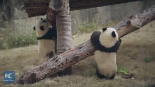 Shanghai Pigeon Pair Pandas Celebrate 200 Days With New Names