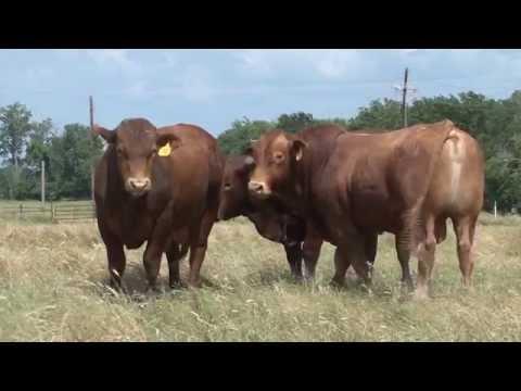 "Beefmaster Bulls: ""The Best Of Both Worlds"""