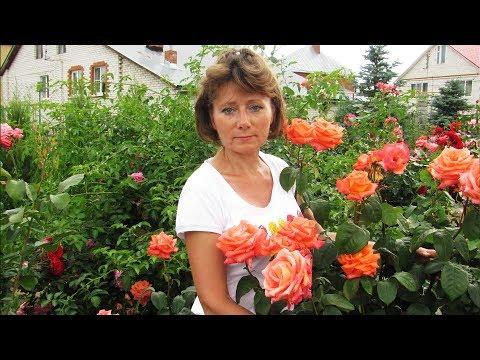 Прекрасные, устойчивые розы для средней полосы  Часть 1
