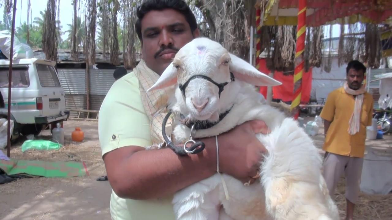 Bannur Sheep Breeds In Demand Doovi