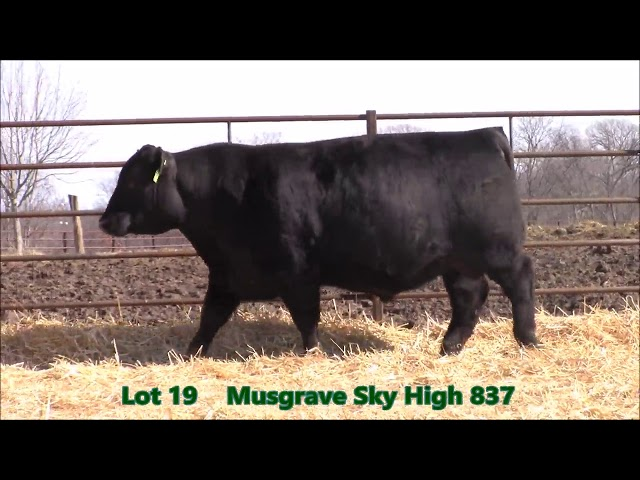 Musgrave Angus Lot 19