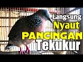 Pancingan Tekukur Derkuku Malas Bunyi  Mp3 - Mp4 Download