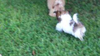 Shih Tzu Puppy Zoomies