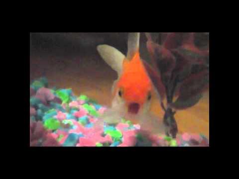 Rapping Goldfish