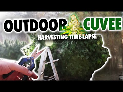 Outdoor Cuvee Marijuana Harvest (Time Lapse)