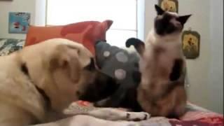 Сиамский кот-боксер