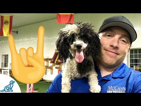 Toy Poodle Dog Agility Rockstar