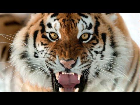 Тигрица заболела коронавирусом в зоопарке