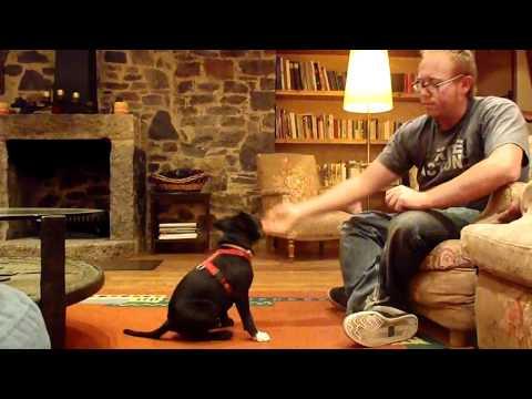 Staffordshire Bull Terrier Puppie training 'Nico', tricks