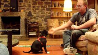 "Staffordshire Bull Terrier Puppie Training ""nico"", Tricks"