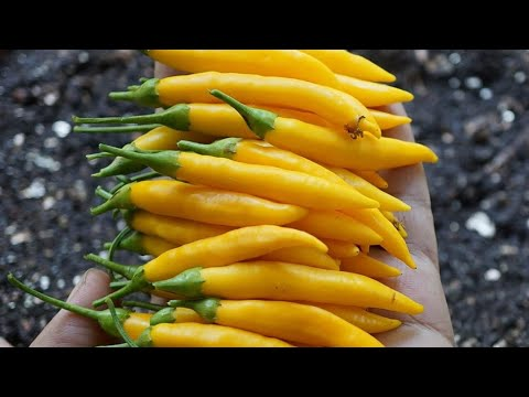Grow Chillies In Pots Or Growbags In 3 - 5 Hours Sun | Seed To Harvest | Sunshine Chilly