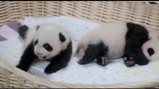 Cute Alert! One-Month-Old Twin Giant Pandas Make Their Public Debut In Shanghai