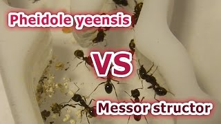 Бой муравьёв за территорию. Messor structor vs Pheidole yeensis