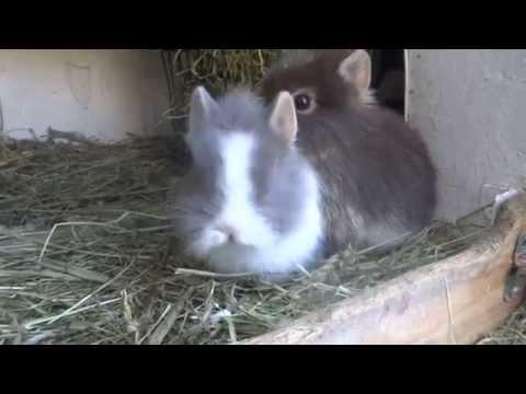 loffelohr dwerg konijn