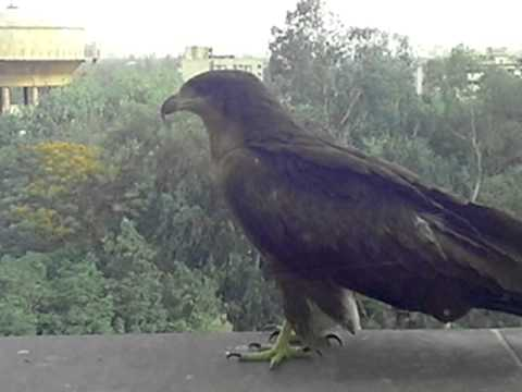Indian Eagle size n skill