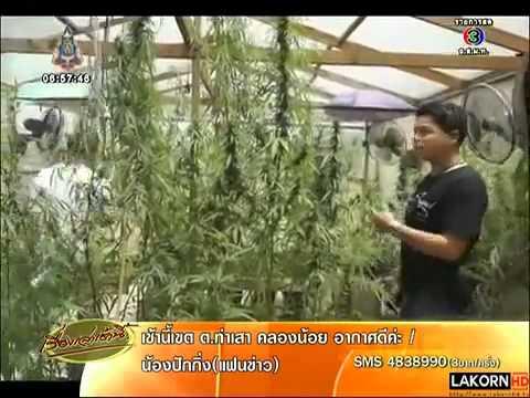 อุบ๊ะ!! หนุ่มป โท ปลูกกัญชาเสพ ขาย บนดาดฟ้ากว่า 200 ต้น