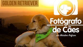 Golden Retriever - Conheça um pouco mais dessa raça - Fotógrafo de Cães