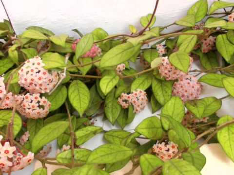 Hoya carnosa a plena floración, traca final
