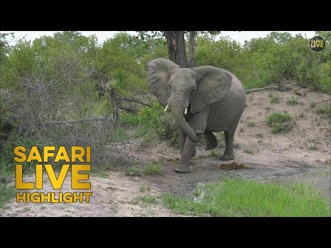 A Close Call in the Bush: Elephant Stampede