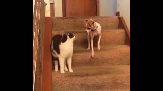 Кот сломал собаку