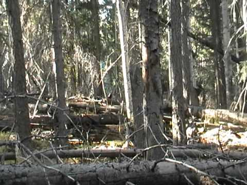 Az Bull Elk Rut with Andy Curran And Justin Weippert. 2011