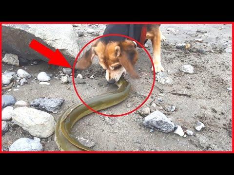 Animal world Electric eel Power Attack Crocodile,Snake,Shark 전기뱀장어 대 악어,뱀,상어 싸움