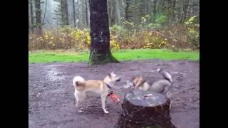 Cúchulainn, a Kishu Ken puppy (red) plays with TK, a 10 year old Sh...