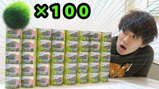 【まりも缶】まりも100匹育ててマリモの王になります。 thumbnail