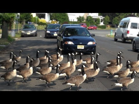 CRAZY CANADA GEESE