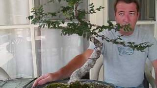 Bonsai Tree Care and Creation -- Chinese Elm Bonsai Tree