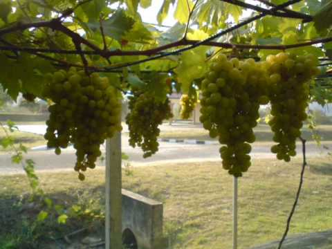 Anggur Malaysia .wmv
