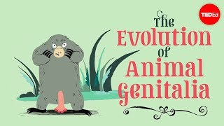 The evolution of animal genitalia - Menno Schilthuizen thumbnail
