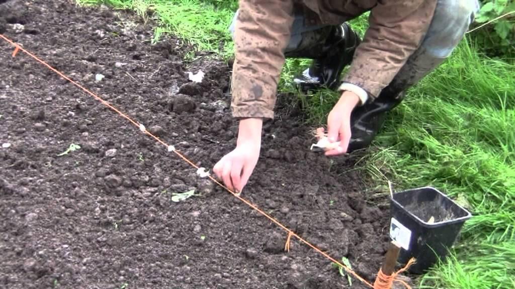 Knoblauch Und Zwiebeln Im Herbst Im Garten Pflanzen Youtube