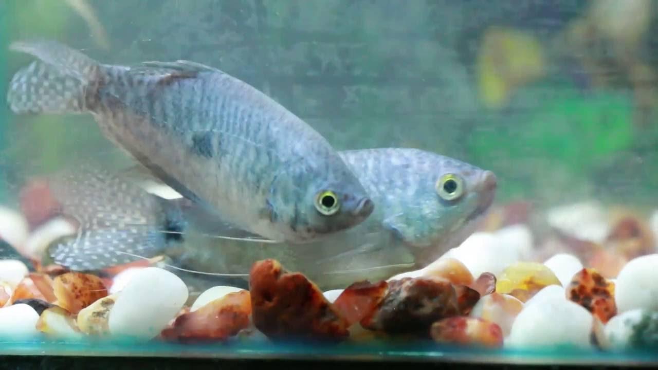 Fish aquarium in nagpur - Cat Fish