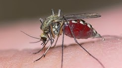 Millions of GM mosquitoes could be released; Mega mosquitoes invade Central Florida - Compilation