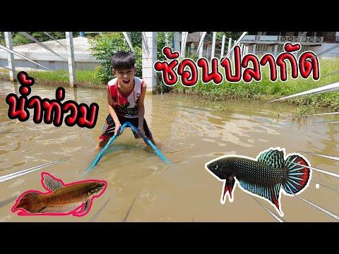 น้ำท่วม ซ้อนปลากัด ได้ปลาเพียบเลย!!! / TiggerShow