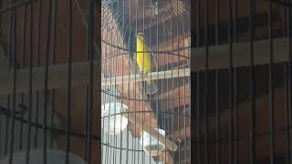 HD Audio Suara Burung Mozambik