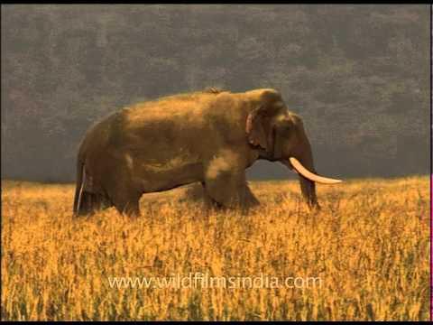Majestically large Indian elephant male tusker!