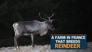 French fairytale farm welcomes Santa's reindeer