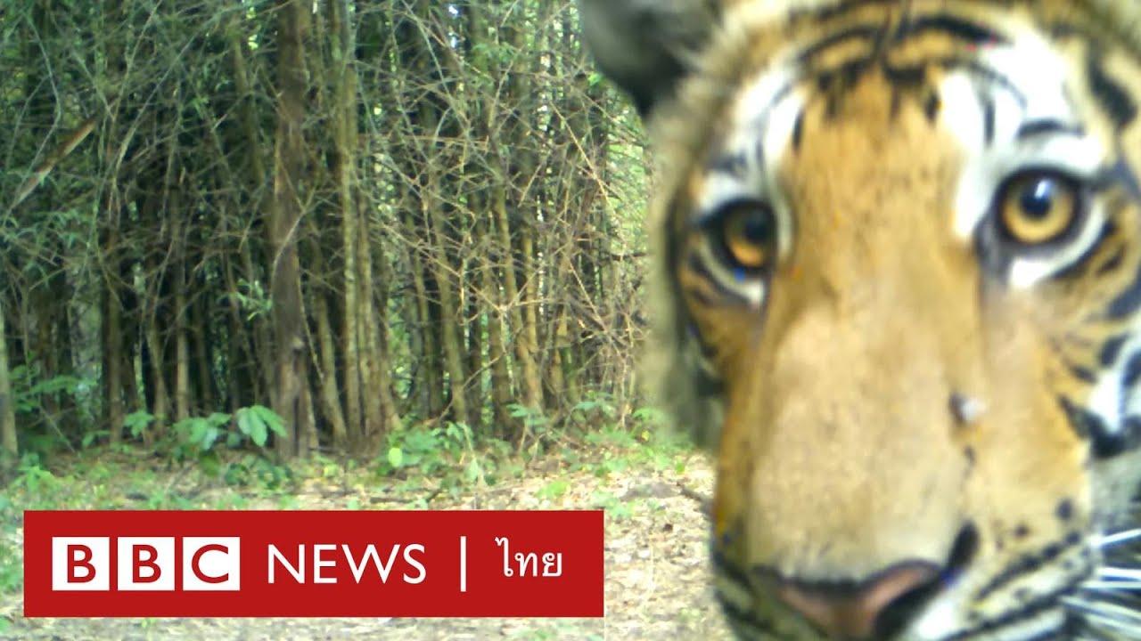 ตามชีวิตนักวิจัยเสือโคร่งไทยที่ห้วยขาแข้ง จ.อุทัยธานี - BBC News ไทย