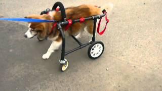 10/3 完成した車椅子に乗った、はなちゃんの様子です.