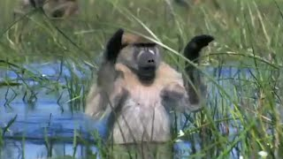 Monkeys Wading Through Water - Planet Earth - BBC