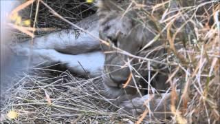 Days Old Lion Cub -  Singita Kruger Park
