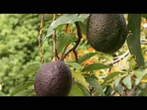 Avocado fruit is beneficial for pregnant mother/ Avocado for expecting mother and unborn baby