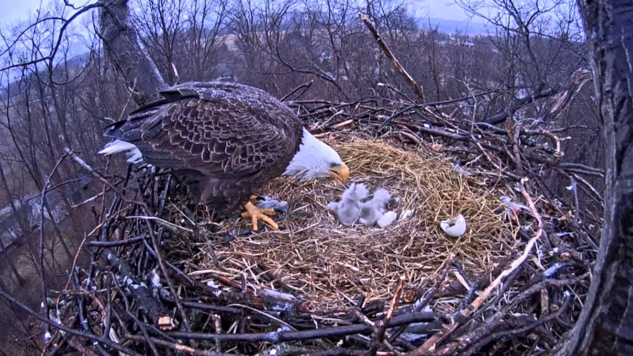 Eagle cam: Feeding the eaglets - YouTube