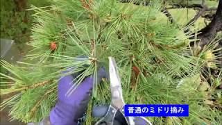 庭木の手入れ:180508クロマツ⑦中芽切りと芽切り