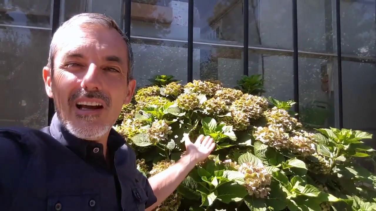 Fiori Di Ortensia Secchi potare l'ortensia ecco quali sono i rami che portano a fiore