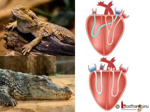 Biology - 5 classes of Vertebrates - Diversity in Living Organisms - Part 9 - English