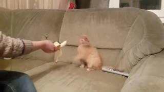 Кошки боятся банана